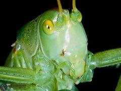 Leptophyes punctatissima  --   ordine: Orthoptera  famiglia: Phaneropteridae  nome scientifico: Leptophyes punctatissima   data e località: Castel di Aiano, Bologna Province, Emilia Romagna, Italy  commento: