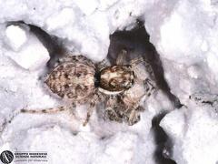 Menemerus semilimbatus  --   ordine: Araneae  famiglia: Salticidae  nome scientifico: Menemerus semilimbatus   data e località: Lercara Friddi, Palermo Province, Sicily, Italy  commento: