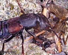 Staphylinidae sp. --   ordine: Coleoptera  famiglia: Staphylinidae  nome scientifico: Staphylinidae sp.  data e località: Corno alle Scale Park, Bologna Province, Emilia Romagna, Italy  commento: