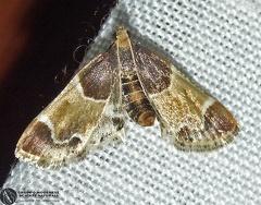 Pyralis farinalis  --   ordine: Lepidoptera  famiglia: Pyralidae  nome scientifico: Pyralis farinalis   data e località: San Pietro in Casale, Bologna Province, Emilia Romagna, Italy  commento: