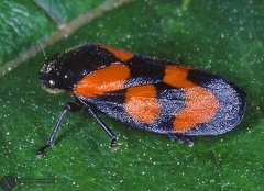 Cercopis vulnerata  --   ordine: Homoptera  famiglia: Cercopidae  nome scientifico: Cercopis vulnerata   data e località: Dragodena (Tolé-Zocca), hills of Bologna Province, Emilia Romagna, Italy  commento: