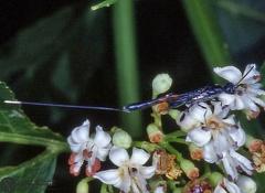 Gasteruption jaculator  --   ordine: Hymenoptera  famiglia: Gasteruptiidae  nome scientifico: Gasteruption jaculator   data e località: Corno alle Scale Park, Bologna Province, Emilia Romagna, Italy  commento: