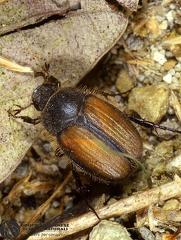 Omaloplia ruricola  --   ordine: Coleoptera  famiglia: Scarabaeidae  nome scientifico: Omaloplia ruricola   data e località: Castel di Aiano, Bologna Province, Emilia Romagna, Italy  commento: