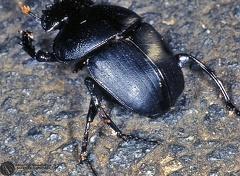Scarabaeus sp. --   ordine: Coleoptera  famiglia: Scarabaeidae  nome scientifico: Scarabaeus sp.  data e località: St.Lucia Wetland, Kwazulu-Natal, South Africa  commento: