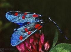 Zygaena filipendulae  --   ordine: Lepidoptera  famiglia: Zygaenidae  nome scientifico: Zygaena filipendulae   data e località: Corno alle Scale Park, Bologna Province, Emilia Romagna, Italy  commento: