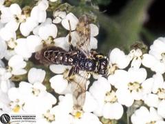 Myzine tripunctata --   ordine: Hymenoptera  famiglia: Scoliidae  nome scientifico: Myzine tripunctata  data e località: Corno alle Scale Park, Bologna Province, Emilia Romagna, Italy  commento: