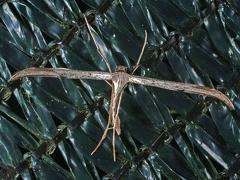 Emmelina monodactyla --   ordine: Lepidoptera  famiglia: Pterophoridae  nome scientifico: Emmelina monodactyla  data e località: San Pietro in Casale, Bologna Province, Emilia Romagna, Italy  commento: