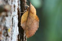 Gastropacha populifolia