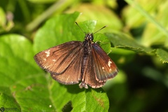 Heteropterus morpheus2