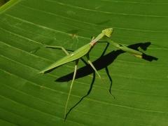 Mantis religiosa --   ORDINE: Mantodea  FAMIGLIA: Mantidae  NOME SCIENTIFICO: Mantis religiosa  DATA E LOCALITÁ: 01-09-12 Alberi, Parma  COMMENTO: Mantide sorpresa su foglia di banano