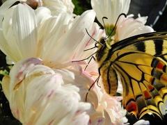 Papilio machaon --   ORDINE: Lepidoptera  FAMIGLIA: Papilionidae  NOME SCIENTIFICO: Papilio machaon  DATA E LOCALITÁ: 06-12-13 Alberi, Parma  COMMENTO: Nascita di una farfalla di inverno