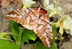 Endromis versicolora --   ORDINE: LEPIDOPTERA  FAMIGLIA: ENDROMIDAE  NOME SCIENTIFICO: Endromis versicolora  DATA E LOCALITÁ: 14,04-2015 , Cisana , Toano , RE  COMMENTO: