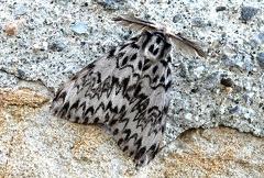 Lymantria monacha --   ORDINE: LEPIDOPTERA  FAMIGLIA: EREBIDAE  NOME SCIENTIFICO: Lymantria monacha  DATA E LOCALITÁ: 18/07/2012 , Cisana , Toano , RE  COMMENTO: