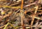 Deleproctophyla australis --   ORDINE: NEUROPTERA  FAMIGLIA: ASCALAPHIDAE  CENERE e SPECIE: Deleproctophyla australis  DATA e LOCALITA: 21/06/2016 - Santa Severa. Roma  :