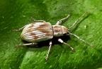 Pseudomyllocerus neapolitanus --   ORDINE: COLEOPTERA  FAMIGLIA: CURCULIONIDAE  CENERE e SPECIE: Pseudomyllocerus neapolitanus  DATA e LOCALITA: 28/05/2016 - Fano, PU  :