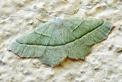 Campaea margaritata --   ORDINE: LEPIDOPTERA  FAMIGLIA: GEOMETRIDAE  CENERE e SPECIE: Campaea margaritata  DATA E LOCALITA: 04/09/2016 - Vezale, Sestola, MO  :