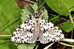 Lymantria monacha --   ORDINE: LEPIDOPTERA  FAMIGLIA: EREBIDAE  CENERE e SPECIE: Lymantria monacha  DATA E LOCALITA: 23/06/2013 - Rio Fiume, Santa Severa, ROMA  :
