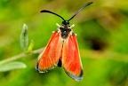 Zygaena ( Mesembrinus) rubicundus --   ORDINE: LEPIDOPTERA  FAMIGLIA: ZIGAENIDAE  CENERE e SPECIE: Zygaena ( Mesembrinus) rubicundus  DATA E LOCALITA: 23/06/2016 - Monte Nerone, PU  :