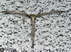 Emmelina monodactyla --   ordine: Lepidoptera  famiglia: Pterophoridae  nome scientifico: Emmelina monodactyla  data e località: Cento, Ferrara Province, Emilia Romagna, Italy  commento: