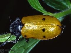 Lachnaia 6-punctata  --   ordine: Coleoptera  famiglia: Chrysomelidae  nome scientifico: Lachnaia 6-punctata   data e località: Castel di Aiano, Bologna Province, Emilia Romagna, Italy  commento:
