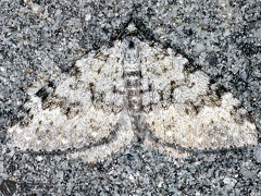 Coenotephria ablutaria --   ordine: Lepidoptera  famiglia: Geometridae  nome scientifico: Coenotephria ablutaria  data e località: Corno alle Scale Park, Bologna Province, Emilia Romagna, Italy  commento: