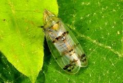 Japanus hyalinus --   ORDINE: HEMIPTERA - HOMOPTERA  FAMIGLIA: CICADELLIDAE  NOME SCIENTIFICO: Japanus hyalinus  DATA E LOCALITÁ: 24/08/2014, Cisano, Toano, RE  COMMENTO: