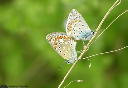 Lycaena dispar (Haworth, 1803)