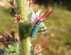 Opsilia coerulescens Scopoli, 1763 --   ordine: Coleoptera  famiglia: Cerambycidae  nome scientifico: Opsilia coerulescens Scopoli, 1763  data e località: 02.06.2007 Siria: Slinfah  commento: