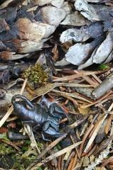 Euscorpius germanus (C.L.Koch, 1837) --   ordine: Scorpiones  famiglia: Euscorpiidae   nome scientifico: Euscorpius germanus (C.L.Koch, 1837)  data e località: 19.7.2009, Trentino, provincia di Trento  commento: femmina, sotto pietre in una pecceta