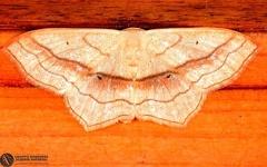 Scopula imitaria  --   ordine: Lepidoptera  famiglia: Geometridae  nome scientifico: Scopula imitaria   data e località: Castel di Aiano, Bologna Province, Emilia Romagna, Italy  commento: