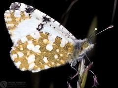 Euchloe ausonia  --  ordine: Lepidoptera  famiglia: Pieridae  nome scientifico: Euchloe ausonia  data e località: Castel di Aiano, Bologna Province, Emilia Romagna, Italy  commento: