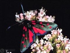 Zygaena transalpina --  ordine: Lepidoptera  famiglia: Zygaenidae  nome scientifico: Zygaena transalpina  data e località: Corno alle Scale Park, Bologna Province, Emilia Romagna, Italy  commento: