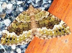 Colostygia olivata --  ordine: Lepidoptera  famiglia: Geometridae  nome scientifico: Colostygia olivata  data e località: Castel di Aiano, Bologna Province, Emilia Romagna, Italy  commento: