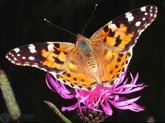 Cynthia cardui  --  ordine: Lepidoptera  famiglia: Nymphalidae  nome scientifico: Cynthia cardui  data e località: Corno alle Scale Park, Bologna Province, Emilia Romagna, Italy  commento: