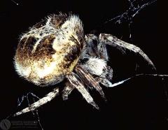 Agalenatea redii delta  --   ordine: Araneae  famiglia: Araneidae  nome scientifico: Agalenatea redii delta   data e località: Molino Borzaga, hills of Bologna Province, Emilia Romagna, Italy  commento: