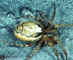 Zygiella montana  --   ordine: Araneae  famiglia: Araneidae  nome scientifico: Zygiella montana   data e località: Castel di Aiano, Bologna Province, Emilia Romagna, Italy  commento: