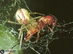 Enoplognatha ovata  --  ordine: Araneae  famiglia: Theridiidae  nome scientifico: Enoplognatha ovata  data e località: Corno alle Scale Park, Bologna Province, Emilia Romagna, Italy  commento: