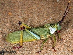Indet sp.  --   ordine: Orthoptera  famiglia: Acrididae  nome scientifico: Indet sp.   data e località: St.Lucia Wetland, Kwazulu-Natal, South Africa  commento: