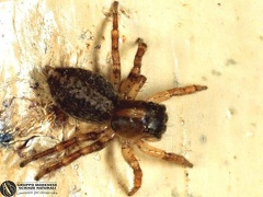 Saitis barbipes  --  ordine: Araneae  famiglia: Salticidae  nome scientifico: Saitis barbipes  data e località: Corno alle Scale Park, Bologna Province, Emilia Romagna, Italy  commento: