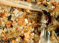 Talitrus saltator  --  ordine: Amphipoda  famiglia: Talitridae  nome scientifico: Talitrus saltator  data e località: Fluminimaggiore, Sardinia, Italy  commento: