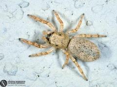 Salticus sp.  --   ordine: Araneae  famiglia: Salticidae  nome scientifico: Salticus sp.   data e località: Castel di Aiano, Bologna Province, Emilia Romagna, Italy  commento: