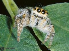 Sitticus sp  --  ordine: Araneae  famiglia: Salticidae  nome scientifico: Sitticus sp  data e località: Castello di Argile, Bologna Province, Emilia Romagna, Italy  commento: