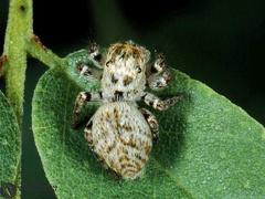 Carrhotus xanthogramma  --  ordine: Araneae  famiglia: Salticidae  nome scientifico: Carrhotus xanthogramma  data e località: Bosco della Panfilia Park, Ferrara Province, Emilia Romagna, Italy  commento: