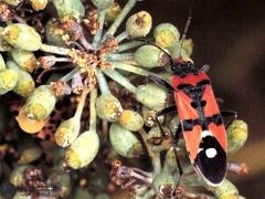 Lygaeus equestris  --  ordine: Heteroptera  famiglia: Lygaeidae  nome scientifico: Lygaeus equestris  data e località: Pattada, Sardinia, Italy  commento: