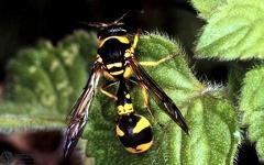Eumenes pedunculatus  --   ordine: Hymenoptera  famiglia: Eumenidae  nome scientifico: Eumenes pedunculatus   data e località: Pieve di Cento,Bologna Province, Emilia Romagna, Italy  commento: