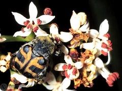 richius fasciatus  --  ordine: Coleoptera  famiglia: Scarabaeidae  nome scientifico: richius fasciatus  data e località: Corno alle Scale Park, Bologna Province, Emilia Romagna, Italy  commento: