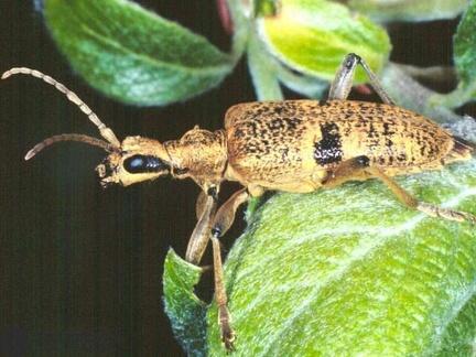 Rhagium mordax  --   ordine: Coleoptera  famiglia: Cerambycidae  nome scientifico: Rhagium mordax   data e località: Corno alle Scale Park, Bologna Province, Emilia Romagna, Italy  commento: