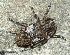 Mesosa nebulosa  --  ordine: Coleoptera  famiglia: Cerambycidae  nome scientifico: Mesosa nebulosa  data e località: Corno alle Scale Park, Bologna Province, Emilia Romagna, Italy  commento: