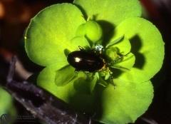Altica oleracea  --  ordine: Coleoptera  famiglia: Chrysomelidae  nome scientifico: Altica oleracea  data e località: Corno alle Scale Park, Bologna Province, Emilia Romagna, Italy  commento: