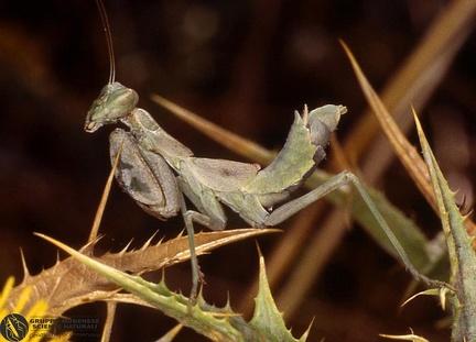 Ameles spallanziana  --   ordine: Mantodea  famiglia: Mantidae  nome scientifico: Ameles spallanziana   data e località: Undetermined location, Sardinia, Italy  commento: